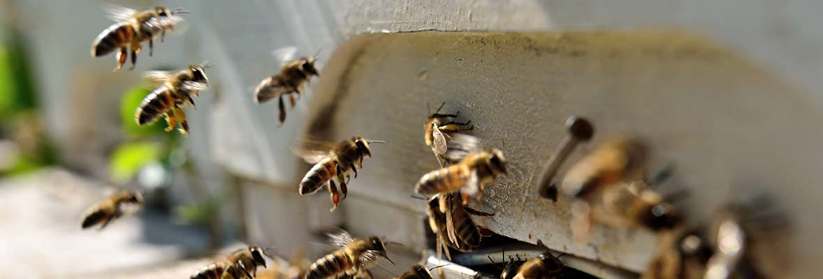 Honey bees leaving hive
