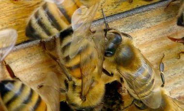 Bees in crisis on hive